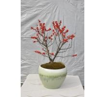 福来红北美冬青盆栽展示
