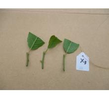 北美冬青嫩枝扦插育苗过程和育苗大棚展示